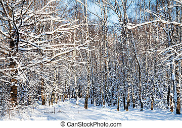 snow-covered woods in forest in sunny winter day