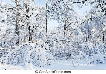 snow-covered woods in forest in winter morning