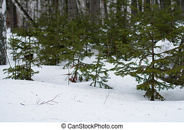 Snow-covered young spruce at the edge of the forest