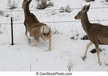 Snow Doe Under Fence