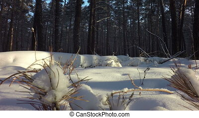 Snow drifts covered the sun in winter mixed forest. - Snow...
