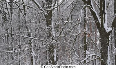 Snow falling in winter on background of a leafless deciduous forest