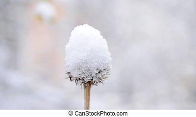 Snow falling in winter on dry beautiful flower swaying in wind