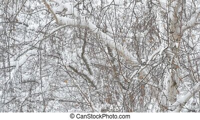Snow falling on background of birch tree