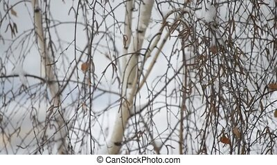 Snow falling on background of leafless birch tree in winter