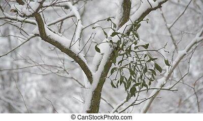 Snow falling on background of mistletoe on tree branch