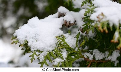 Snow falling on beautiful green thuja tree branch with cones