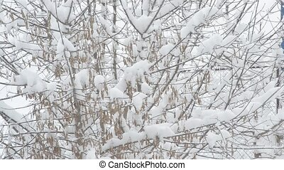 Snow falling on box elder tree branch background