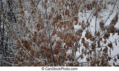 Snow falling on box elder tree branches with samaras