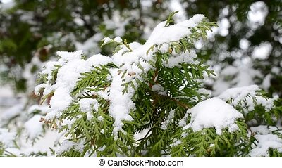 Snow falling on evergreen thuja branch blown by wind