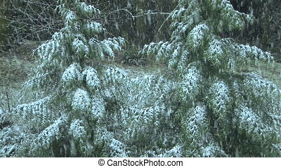Snow Falling on evergreens