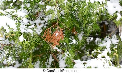 Snow falling on green and brown thuja tree branch in winter