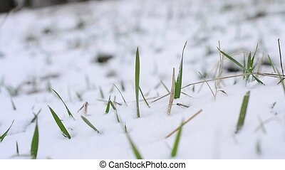 Snow falling on green grass with a grass blade stirred by wind