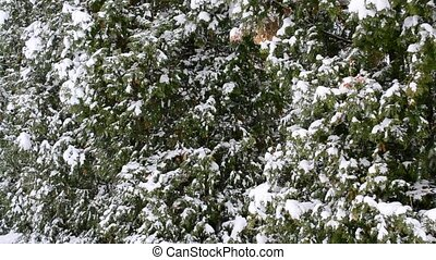 Snow falling on green thuja trees background - Close-up