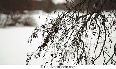 Snow falling on pine branch. Snowflakes falling on a pine branch and create a beautiful picture of winter