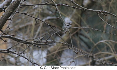 snow falling onto branches of bare cherry tree