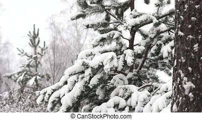 Snow Falling - snow falling in a forest