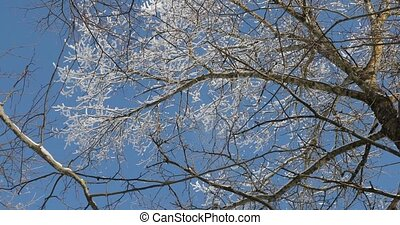 snow falls from the branches of trees on a clear sunny day