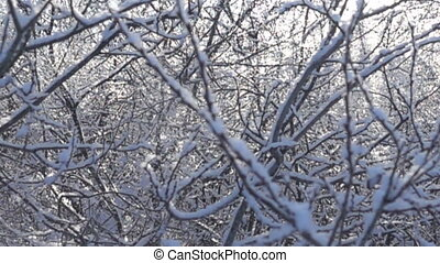Snow falls from the trees in the thaw - Snow falls from ...