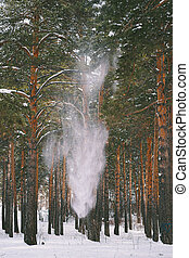 Snow falls from trees in the forest