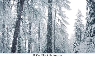 Snow Falls In Winter Forest