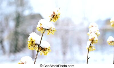 Snow falls in winter or spring on snowy Cornelian cherry twigs with flowers