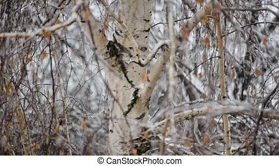 Snow falls on background of a birch tree