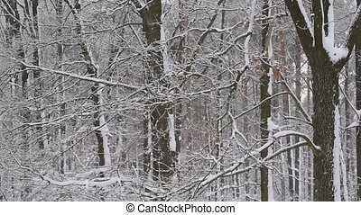 Snow falls on background of calm leafless forest with heaps...