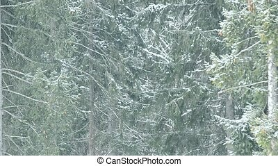 Snow falls on background of green fir trees filling the frame