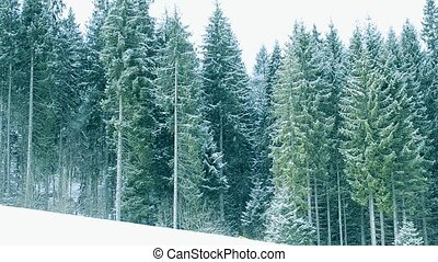 Snow falls on background of green fir trees in mountains
