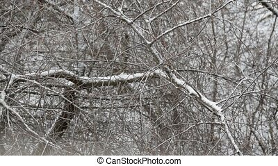 Snow falls on background of leafless tree branches -...