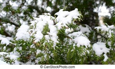 Snow falls on snowy green thuja branch in winter