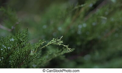 Snow Falls on the Green Thuja Branches