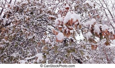 snow., feuilles