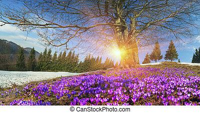 Snow flowers - Crocuses - Saffron Geyfelya- first spring ...