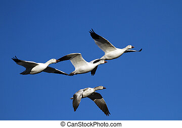 Snow Geese at Bosque del Apache NWR in New Mexico - Snow ...