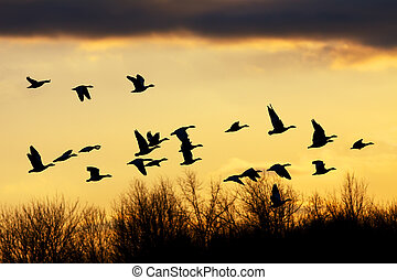 Snow Geese flying over the treetops at sunset.