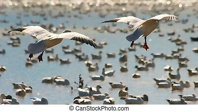 Snow Geese (Chen caerulescens) Landing