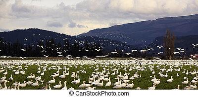Snow Geese Farmer's Field Flying Away