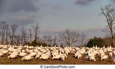 Snow Geese Feeding - Snow Geese feeding on a hillside.