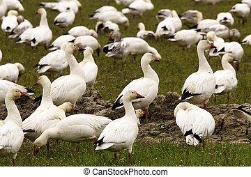 Snow Geese Flock Close Up Skagit County Washington