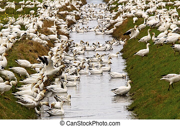 Snow Geese Flock Drinking Rain Ditch Grass Close Up  Skagit County Washington