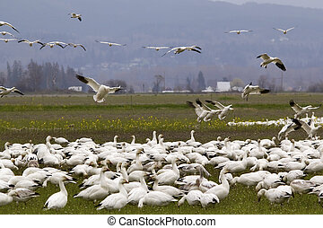 Snow Geese Flock Landing Close Up Skagit County Washington
