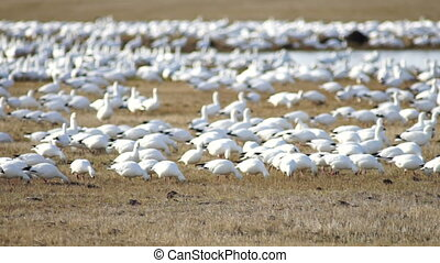 Snow Geese Flock Together Spring Migration Wild Birds - Snow...