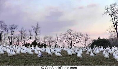 Snow Geese Fly Off - Snow Geese fly off at dusk in Lancaster...