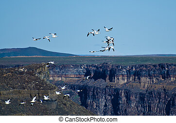 Snow Geese Flying Above the Canyon