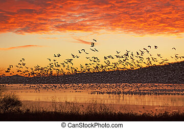 Snow Geese Flying at Sunrise - A flock of Snow Geese fly...