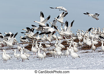 Snow Geese Flying From Snowy Hillside