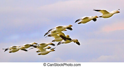 Snow Geese Flying in Line Formation Over Countryside Close Up Skagit County Washington