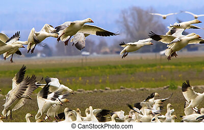 Snow Geese Flying Over Countryside Close Up Landing Joining the Flock Skagit County Washington